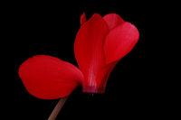 Blossom (Cyclamen)
