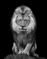 African Lion VI