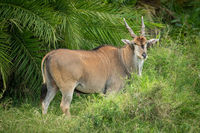Common eland stands by palm watching camera