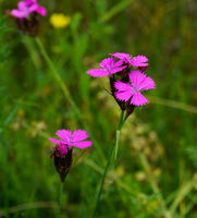 Carthusian pink, Dianthus carthusianorum,
