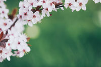 beautiful blooming cherry tree branch