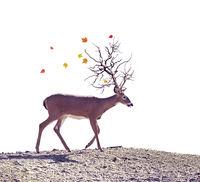 Autumn tree horn deer  on white background
