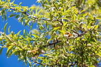 Details of almonds still green in an almond tree near Garrovillas de Alconetar