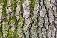 grooved bark on mature trunk of alder tree