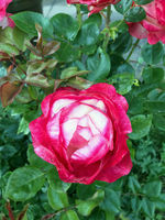Garden rose with red and white flowers