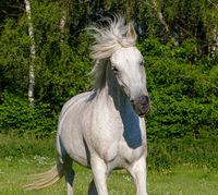 white horse running in spring pasture