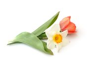Tulip and daffodil lie on white background