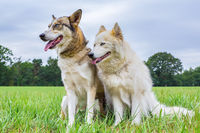Two huskies sit together in meadow outside