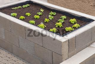 gruener Salat waechst im Hochbeet aus Stein