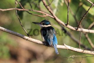 sacred kingfisher (Todiramphus sanctus) Queensland , Australia