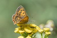 Female Scarce Copper, Lycaena virgaureae, Dukaten-Feuerfalter Weibchen
