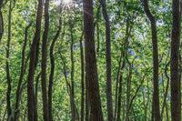 California Bay Laurel Forest in Mt Umunhum.