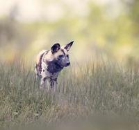 African wild dog in grassland