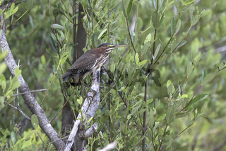 green heron who sits on the branches in the bushes in the mangroves