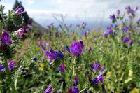 purple viper's-bugloss or Paterson's curse (Echium plantagineum)
