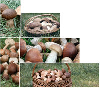 Collage: mushrooms in the forest on the grass