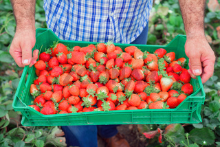 Organic fruit production. Farmer holding crate full of fresh strawberries.