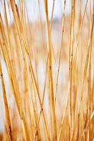 Bambus im weichen Sonnenlicht am Bodensee