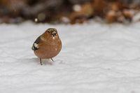 common chaffinch - fringilla coelebs