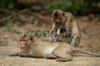 Long-tailed macaque grooms mate on concrete path