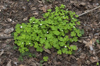 Wood Sorrel with white flowers growing in the forest in spring time.