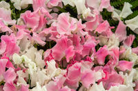 sweet pea Banty and Lucy Hawthorne (Lathyrus oderatus)