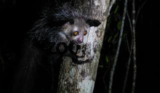 Night portrait of Daubentonia madagascariensis aka Aye-Aye lemur, Atsinanana region, Madagascar