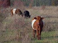 Dutch belted and Galloway cattle in a not cultivated environment