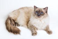 Fluffy cat ragdoll on a white background