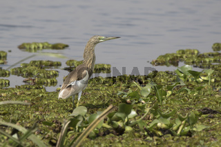 Common squacco heron standing in shallow water on the shore of Lake Albert