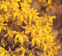 Yellow spring flower forsythia