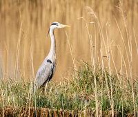 Grey heron bird standing at the water