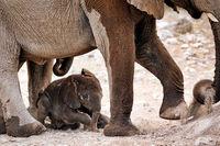new born elephant, Etosha National Park, Namibia, (Loxodonta africana)