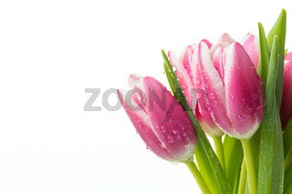 Bunch of pink tulips with water drops isolated on white background.
