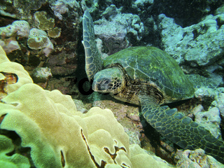 Close up of a green turtle resting on sea bed, Hilo, HI, USA