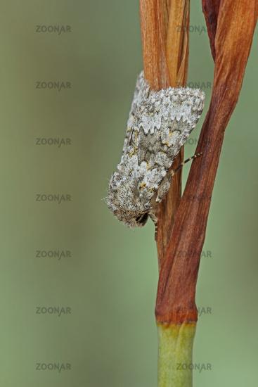 Small ranunculus moth
