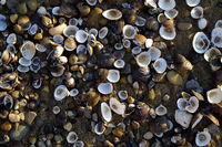 Clams, clamshells, shells