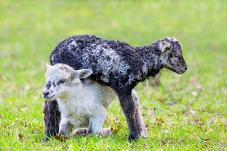 Two newborn lambs play together in green meadow