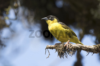 Baglafecht weaver that sits on a dry branch of a tree in the African savanna