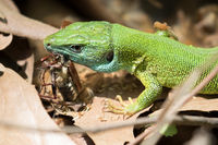 Green lizard with prey