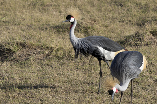 grey crowned crane which stands in the middle of the African savanna in the dry season