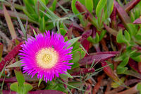 Hottentot-fig (Carpobrotus edulis)