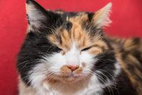 multicolored domestic cat with dreamy look - portrait cat