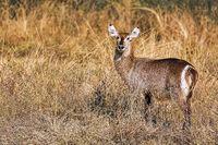 Waterbuck, South Luangwa NP, Zambia, (Kobus ellipsiprymnus)