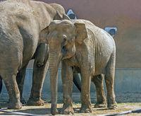 Asian elephants family