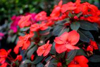 Red New Guinea impatiens flower in pots