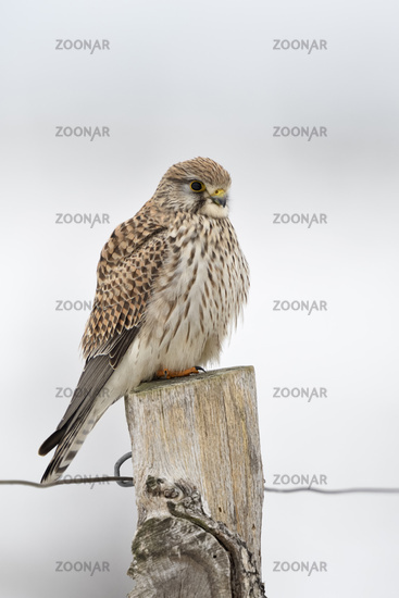 Kestrel * Falco tinnunculus *, female adult in winter, perched on top of a fence post