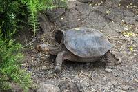 Galapagos giant tortoise (Geochelone nigra hoodensis) with saddleback carapace, Galapagos, Ecuador