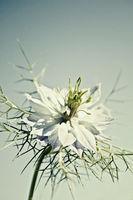 Nigella damascena flower