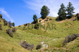 some sheep in the meadow, New Zealand